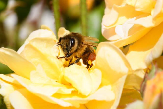Une abeille butinant, à Hede-Bazouges (Ille-et-Vilaine), le 2 juin.