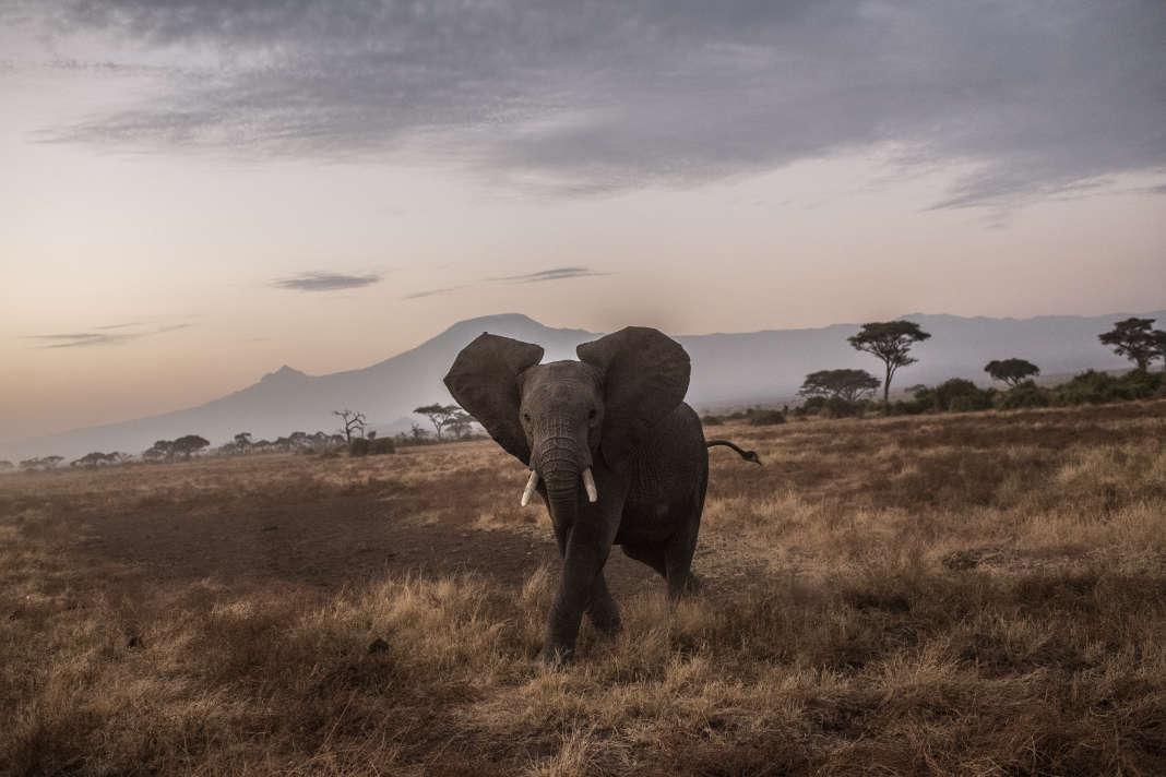 Un éléphant, dans le parc d'Amboseli (Kenya), le 9 octobre.