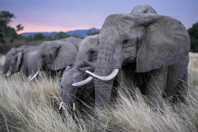 L'éléphant d'Afrique (ici dans la réserve nationale du Masai Mara au Kenya) est surtout victime du braconnage.