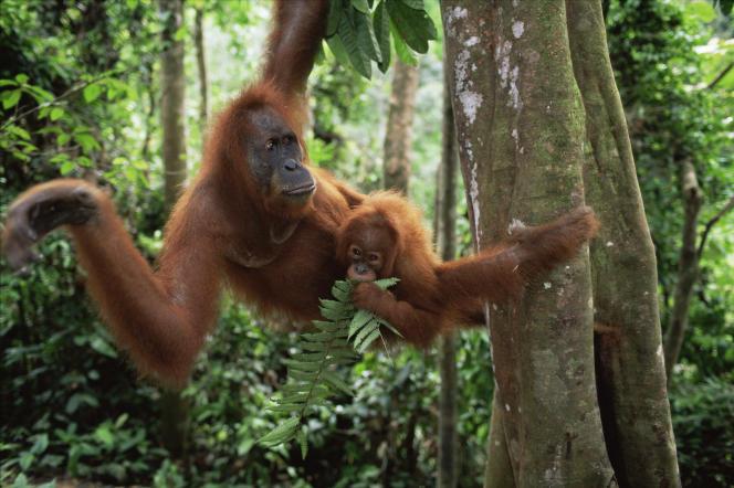La déforestation due aux plantations de palmiers à huile menace les populations d'orangs-outans (ici dans le parc national de Gunung Leuser sur l'île indonésienne de Sumatra).