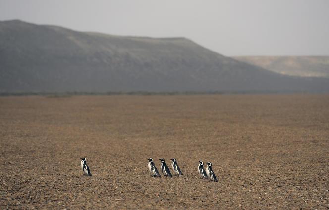 Des manchots de Magellan, classés espèce« quasi menacée», en Patagonie, en 2015.