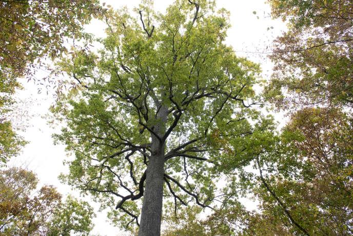 Un chêne sessile en forêt domaniale de Tronçais (Allier), le 25 octobre.