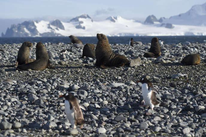 Des manchots papous et des phoques à Yankee Harbour, dans les Shetlands du Sud, en Antarctique, en mars 2016.