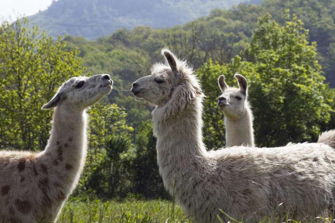 Lamas, dans le parc régional du Haut-Languedoc.
