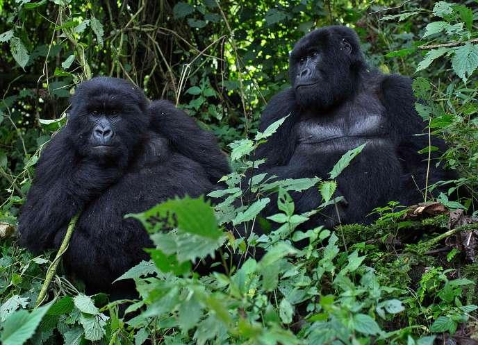 Des gorilles mâles au Rwanda, en 2014.