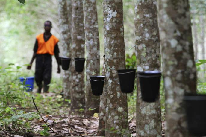 Dans une plantation d'hévéas, près d'Abidjan, en Côte-d'Ivoire.