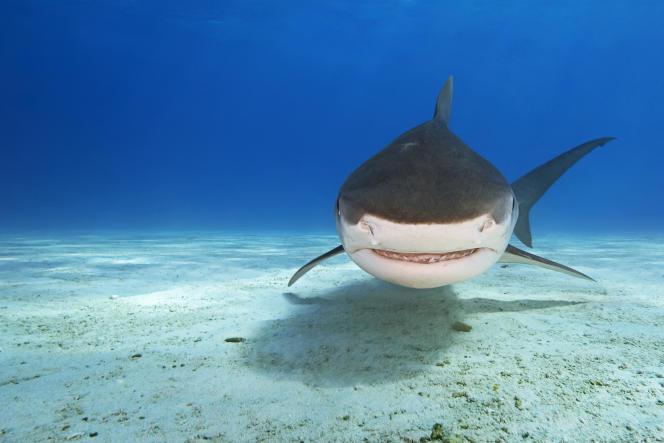 Un requin-tigre aux Bahamas, dans la mer des Caraïbes.