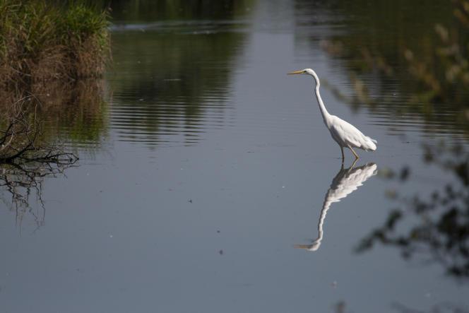 La grande aigrette est l'une des quelque 180 espèces d'oiseaux observées dansla réserve des Deux lacs.