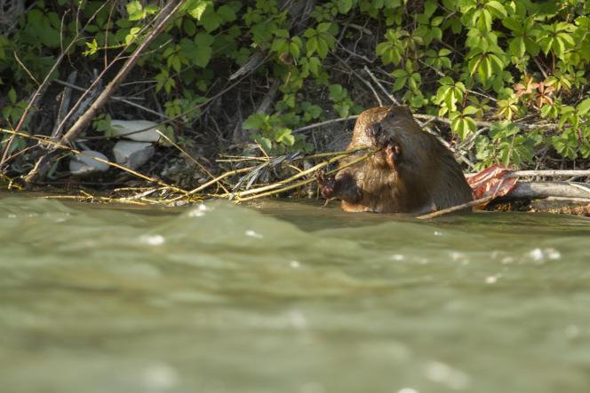 Le castor d'Europe est l'animal emblématique de la réserve drômoise.