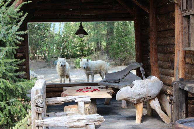 Depuis l'Alaska lodge, on peut observer des loups blancs.