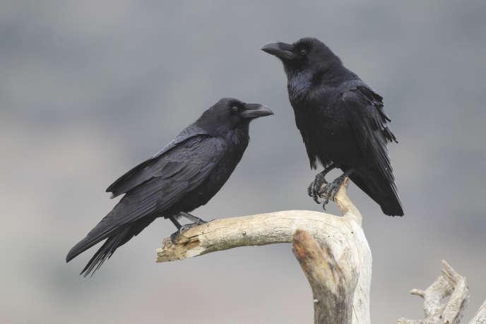 Grands corbeaux («Corvus corax»).