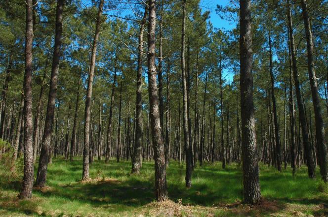La forêt de pins du Parc naturel régional des Landes de Gascogne, proche de la future centrale électrique solaire.