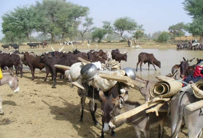 Un troupeau de zébus et d'ânes en transhumance au Niger, en novembre 2006.