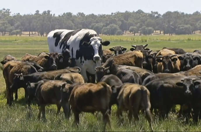 Knickers accompagnant un troupeau de vaches wagyu.