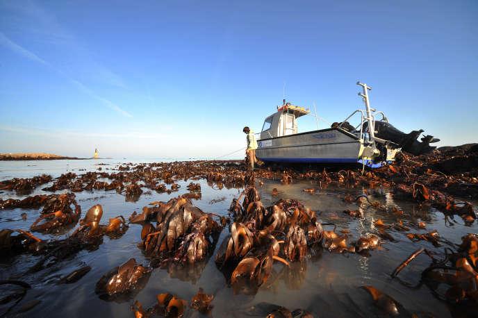 Champ de macroalgues (espèce «Laminaria digitata») émergé à marée basse dans les environs de Roscoff (Finistère).