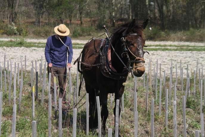 A Landiras, Loïc Pasquet laboure ses terres avec une mule espagnole.