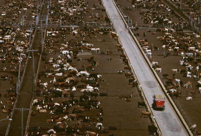 Vue aérienne d'une exploitation intensive de bœufs, près de la ville de Lubbock, auTexas (Etats-Unis).