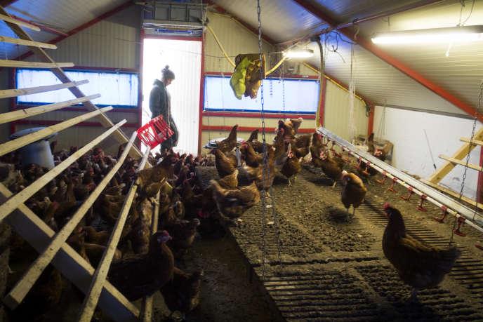 Un élevage de poulets à Fanjeaux (Aude), en février.