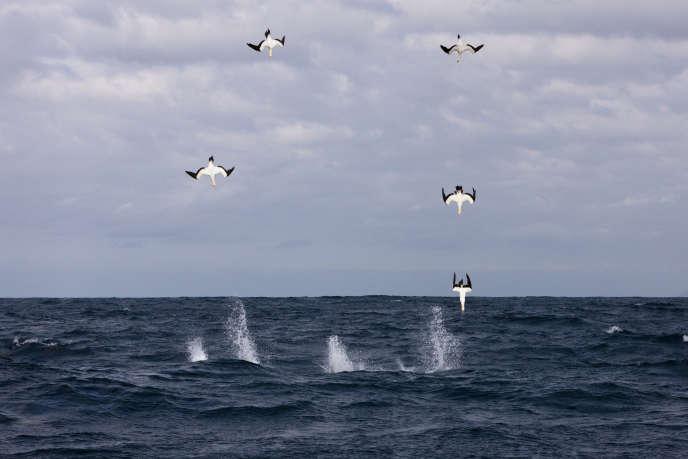 Des fous du Cap chassant des sardines, en Afrique du Sud.