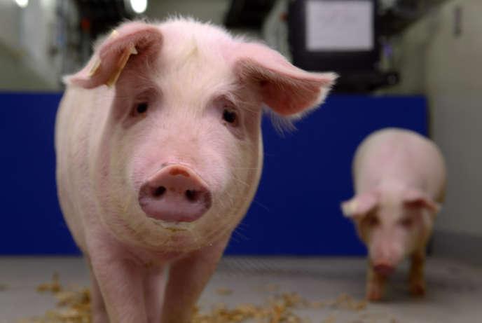 Pour ne pas être rejeté par les défenses du receveur, le cœur est issu d'un porc génétiquement modifié.