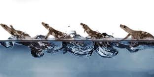 Ce gecko court sur l'eau en utilisant une technique mixte jusqu'ici inconnue.