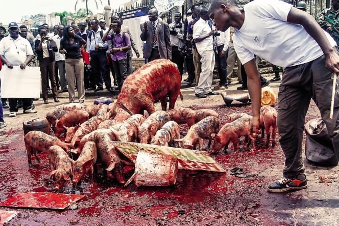 En 2013, à Nairobi, manifestation avec des porcs lâchés devant le Parlement, pour protester contre les revenus des députés.