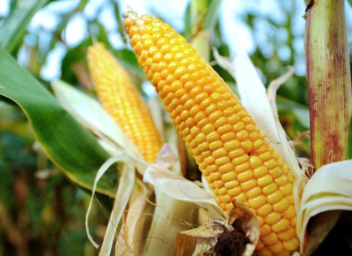 Culture de maïs, au nord de la France, en 2012.