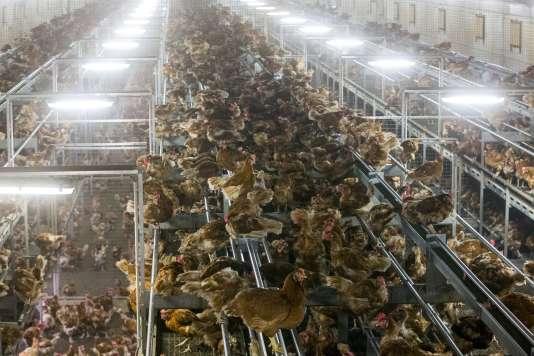Des poulets en batterie dans une ferme des Pays-Bas.