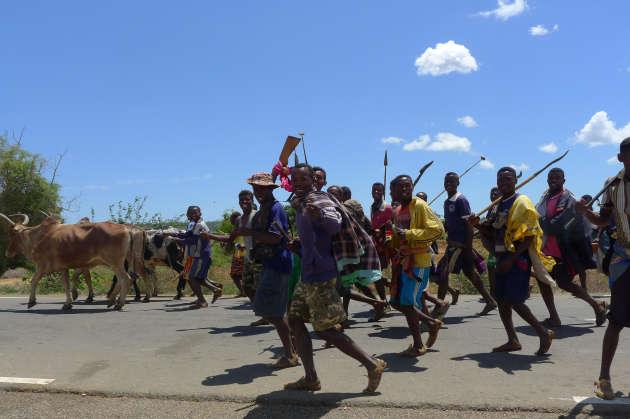 Une milice ramène dans un village du sud de Madagascar des zébus dérobés la veille par des bandits de grands chemins.