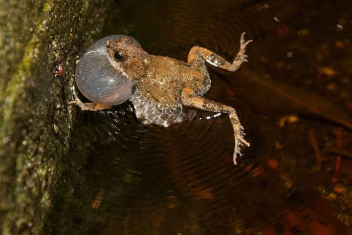 Une grenouille tungara (Engystomops pustulosus) pendant l'appel avec son sac vocal gonflé