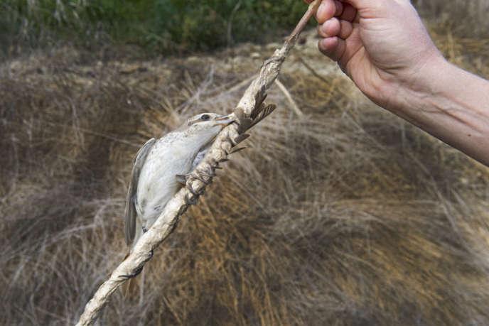 Une pie-grièche écorcheur prise dans un piège à colle, à Chypre.
