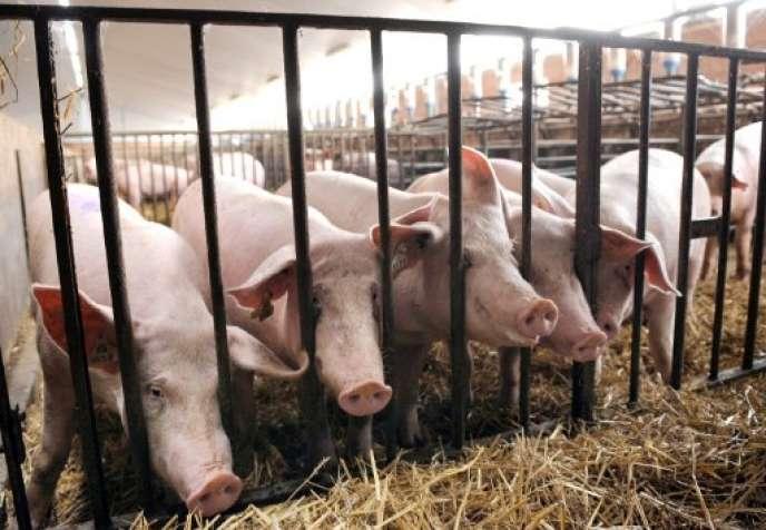 La production porcine a subi un complet retournement de situation, avec des prix en repli de 12 % en 2018.
