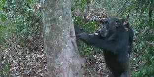Unchimpanzé aspire l'eau coincée dans un arbre, dans le parc national de la Comoé(Côte d'Ivoire), le 3 juillet.