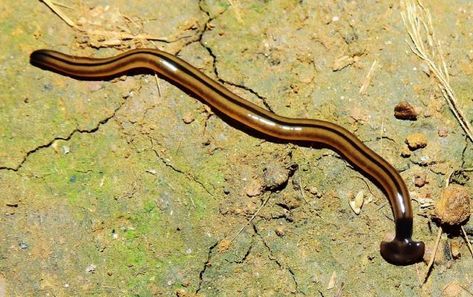 Bipalium vagum, présent dans la plupart des territoires français en zone tropicale, photographié ici en Guyane Française.