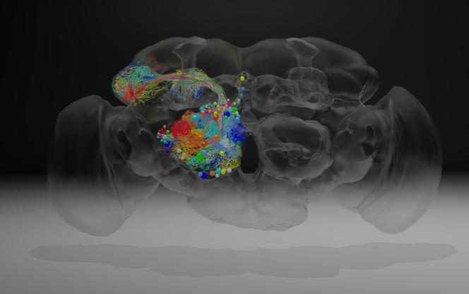 Visualisation de neurones au sein du cerveau d'une drosophile.