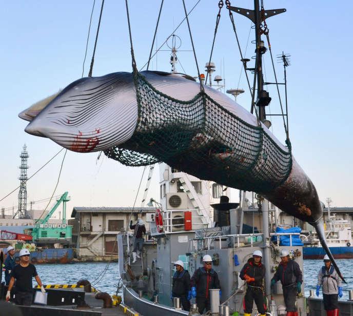 Une rorqual capturée par des pêcheurs japonais, dans le port de Kushiro, dans le nord de l'île d'Hokkaïdo, en septembre 2017.