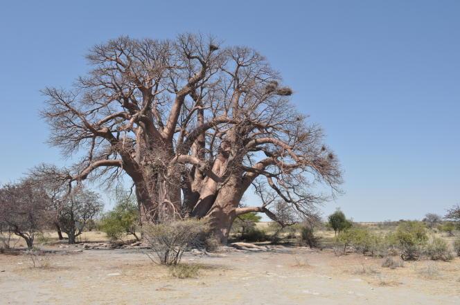 Ce baobab baptisé Chapman, au Botswana, vieux de 1400 ans, est mort subitement en 2016.
