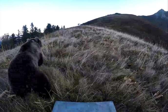 Cette capture d'écran d'une vidéo montre le lâcher d'une des deux ourses slovènes dans les montagnes du Béarn, le 5 octobre.
