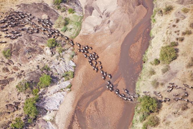 La migration des gnous à queue noire au Kenya peut rassembler jusqu'à 1,5million detêtes.