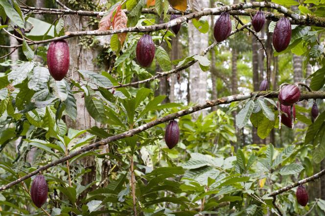 Cabosses mûres de cacao, au Costa Rica.