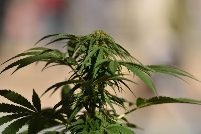 Un plant de marijuana à Vancouver, au Canada, pays qui autorise l'usage thérapeutique du cannabis.