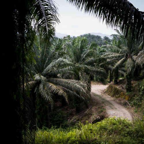 Plantation de palmiers à huile le long de la route forestière qui relie Limbang à Long Seridan. L'huile de palme est de plus en plus utilisée dans la confection de biocarburants, dont la consommation a augmenté de 40% entre 2006 et 2012.