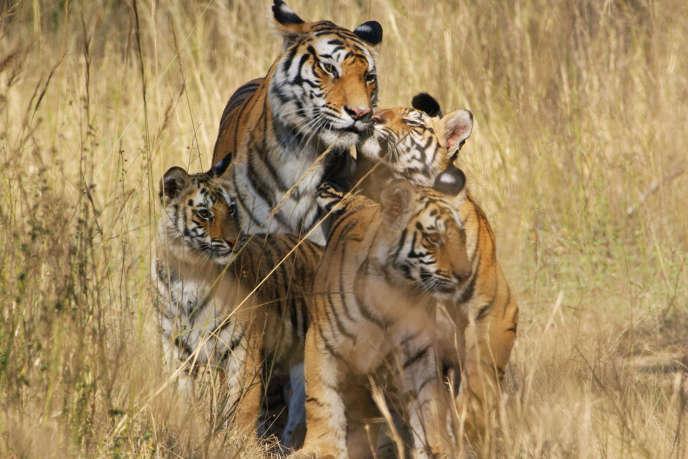 Raj Bhera, la mère tigre avec ses petits, dans la série documentaire «Dynasties» diffusée sur France 5.