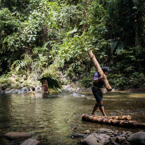 Les troncs d'arbres à sago (sagoutiers) sont trempés plusieurs jours dans la rivière avant d'être utilisés pour l'extraction du sago.