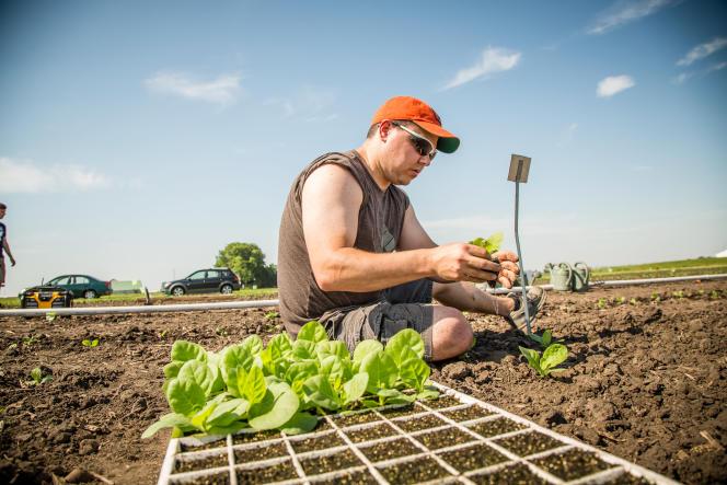 Le généticien Paul South transfère en plein champ des plantules de tabac transgénique pour tester l'amélioration de leurrendement photosynthétique