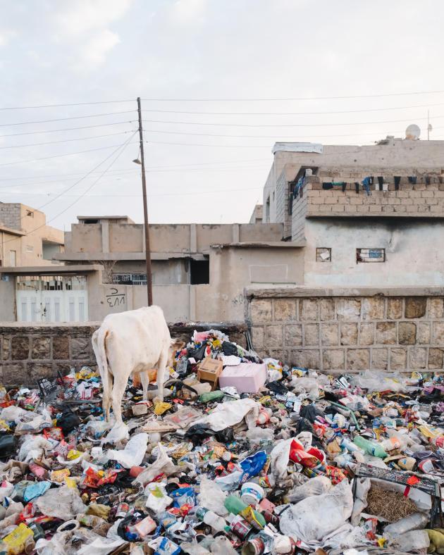 A proximité du cimetièred'Al-Mamoun, une vache dans les déchets.ALEXANDRA ROSE HOWLAND POUR LE MONDE