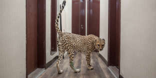 """A cheetah walks in the corridor of the appartment of Shahad Al Jaber, 32, in Kuwait, on January 30, 2017. For about four years, she owns in her appartment a male cheetah (Mark) and a female cheetah (Shahod). Al Jaber shares her daily life with her cheetahs, that she consider as her pets. """"I love them more than anything, more than my potential future children"""" she said. In Kuwait, although it is strictly illegal, dozens of people own exotic pets such as cheetahs, tigers, lions, panthers, leopards, snakes, crocodiles etc. Many of them don't get into trouble because they have the Wasta, an Arabic word that refers to using one's influence or connections to getting things done. Used to show off and gain social prestige, these wild animals are often smuggled into Kuwait by land or flight. However, the trend is not limited to Kuwait. Other Gulf countries as UAE, Qatar and Saudi face such issue. Early January 2017, the United Arab Emirates has outlawed the private ownership of exotic wild animals, including cheetahs, and will fine or jail anyone caught parading them in public. Globally, illicit animal trafficking is a $10 billion industry. After the drugs and weapons trade, animal trafficking is the third most lucrative illicit sector in the world."""