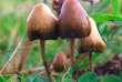 Champignons hallucinogènes«Psilocybe semilanceata».