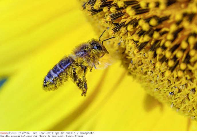 Une abeille sauvage butinant des fleurs de tournesol, à Bugey (Ain).