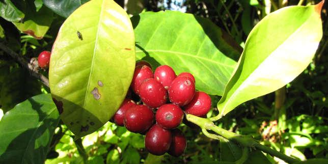 Fruits d'un caféier d'Arabie.